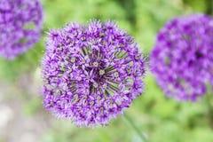 Lilaträdgårdblommor Arkivbild