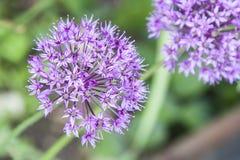 Lilaträdgårdblommor Arkivfoton