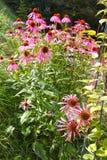 Lilaträdgårdblommor Royaltyfria Bilder