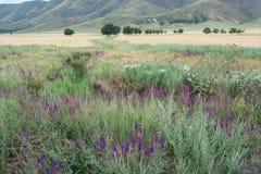 Lilaväxt på bakgrunden av berget Blåsa utskjutande Meloe Natur royaltyfri foto