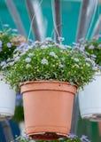 Lilaväxtblomma i kruka Royaltyfri Bild