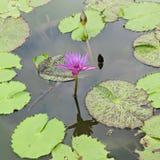 Lilavatten Lilly eller Lotus i dammet Arkivfoto
