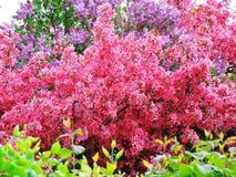 Lile kwiatonośne odrewniałe rośliny Fotografia Stock