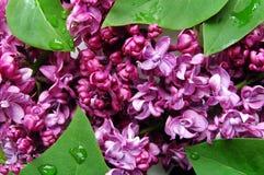 lile purpurowy Zdjęcia Royalty Free