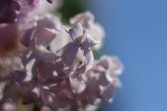 lile purpurowy Zdjęcia Stock