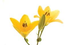 Liles gialli Fotografia Stock