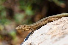 Lilford's Wall Lizard. Endemic Lilford's Wall Lizard on Sa Dragonera near Mallorca, Spain royalty free stock photography