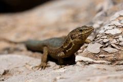 Lilford's Wall Lizard. Endemic Lilford's Wall Lizard on Sa Dragonera near Mallorca, Spain royalty free stock images