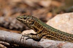 Lilford's Wall Lizard. Endemic Lilford's Wall Lizard on Sa Dragonera near Mallorca, Spain stock photos