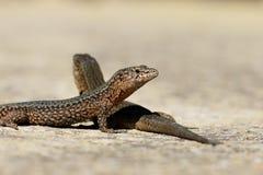 Lilfords墙壁蜥蜴, Podarcis lilfordi giglioli 免版税图库摄影