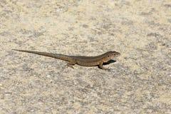 Lilfords ściany jaszczurka, Podarcis lilfordi giglioli Zdjęcia Stock