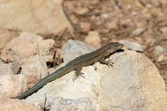 Lilfords wall lizard, Podarcis lilfordi giglioli Stock Photo
