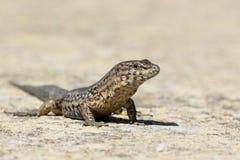 Lilfords wall lizard, Podarcis lilfordi giglioli Royalty Free Stock Photo