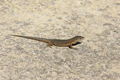 Lilfords wall lizard, Podarcis lilfordi giglioli Stock Photos