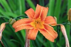 Lili-Blume Stockbild