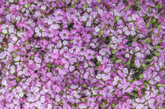 Lili fiołkowi kwiaty, abstrakcjonistyczny miękki kwiecisty tło Zdjęcie Royalty Free