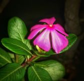 Lili flower. At my home in kolkata,india Stock Image