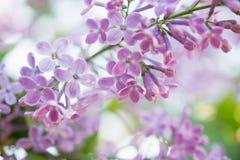 Lili kwiatu okwitnięcia kwiaty w wiosna ogródzie Miękka selekcyjna ostrość tła naturalny kwiecisty Zdjęcia Royalty Free