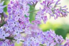 Lili kwiatu okwitnięcia kwiaty w wiosna ogródzie Miękka selekcyjna ostrość tła naturalny kwiecisty Zdjęcie Stock