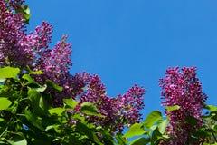 Lili kwiaty Obraz Royalty Free
