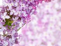 Lili kwiaty Zdjęcie Royalty Free