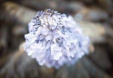 Lili kwiaty akacja fotografia stock