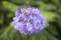Lili kwiaty akacja fotografia royalty free
