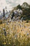 Lili kwiaty lavandula angustifolia zdjęcie royalty free