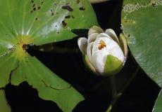 Lili ochraniacza kwiat zdjęcia stock