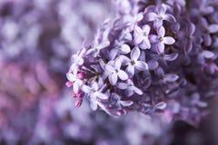 lili piękni kwiaty Zdjęcia Royalty Free