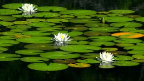 Lilia. Beautiful Lily on the lake Stock Images