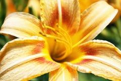 Lilia blomma fotografering för bildbyråer