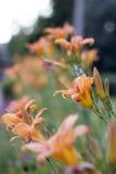 Lilia jaune photo stock