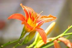 Lilia kwiaty Zdjęcia Stock