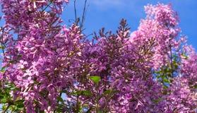 Liliac de florescência Imagem de Stock