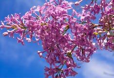 Liliac de florescência Fotografia de Stock
