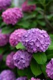 Liliac e ajisai giapponese porpora dei fiori delle ortensie immagine stock libera da diritti