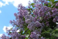 Liliac im Garten 2 stockbilder