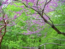 Liliac trees royalty free stock photography