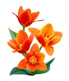 Liliaceae flowers. A flower of liliaceae tulip bouquet Royalty Free Stock Images