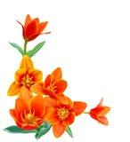 Liliaceae tulip. A flower of liliaceae tulip bouquet Stock Photo