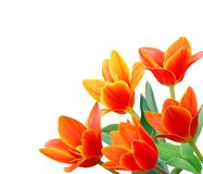 Liliaceae tulip flowers Royalty Free Stock Photos