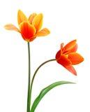 Liliaceae tulip flowers. A flower of liliaceae tulip bouquet Stock Image