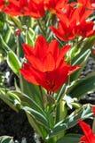 Liliaceae tulips tarda flowers Royalty Free Stock Image
