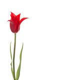 Liliales red tulip flower Royalty Free Stock Images
