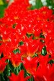 Liliales rojo de las variedades de los tulipanes Fotografía de archivo