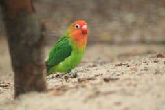 Lilian lovebird Royalty Free Stock Image
