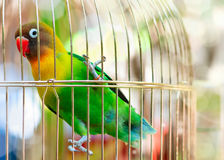 Lilian's Lovebird. Beautiful parrot  Lilian's Lovebird birdcage Stock Photo
