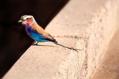 Lilic breasted roller bird standing on a bridge. stock photography