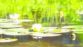 Lilie воды на пруде видеоматериал